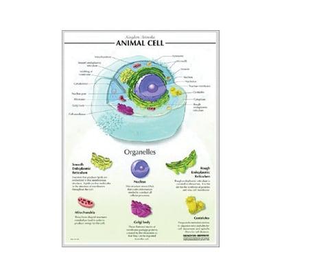 แผ่นภาพนูน 3D เซลล์พืช (ไทย)