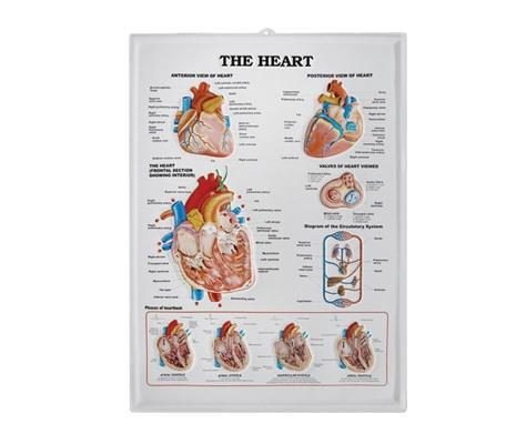 แผ่นภาพนูน 3D หัวใจ (อังกฤษ)