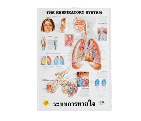 แผ่นภาพนูน 3D ระบบการหายใจ (อังกฤษ)