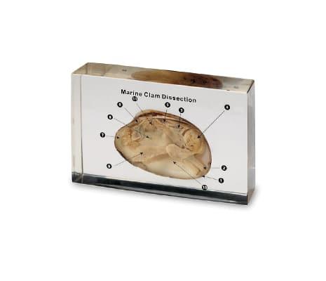 หอยผ่าซีก ในเรซิ่น