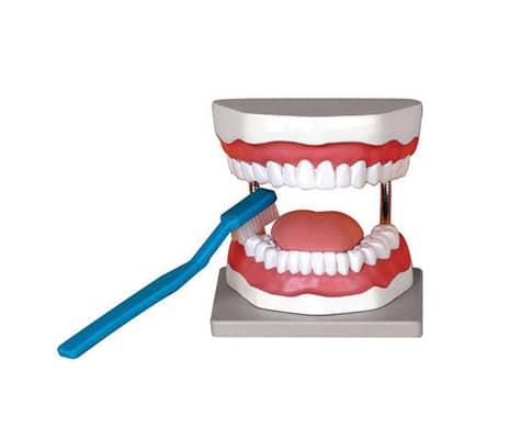 หุ่นจำลองฟัน 3 เท่า