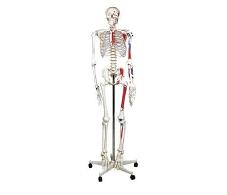 หุ่นโครงกระดูก 180 ซม. (กล้ามเนื้อ)