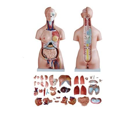 หุ่นจำลองร่างกายมนุษย์ 85 ซม. (40 ชิ้น)