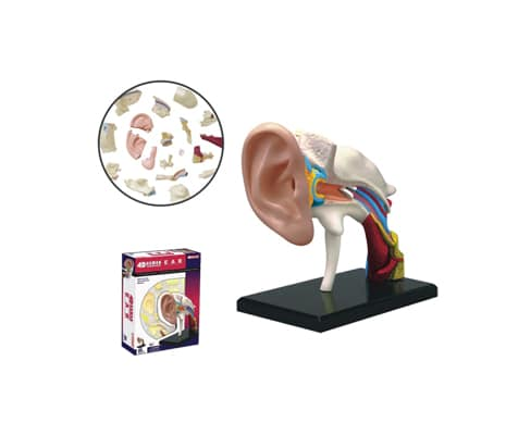 4D Vision หุ่นจำลองหู
