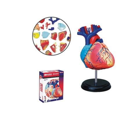 4D Vision หุ่นจำลองหัวใจ