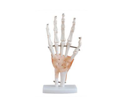 หุ่นจำลองกระดูกมือ