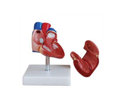 หุ่นจำลองหัวใจ